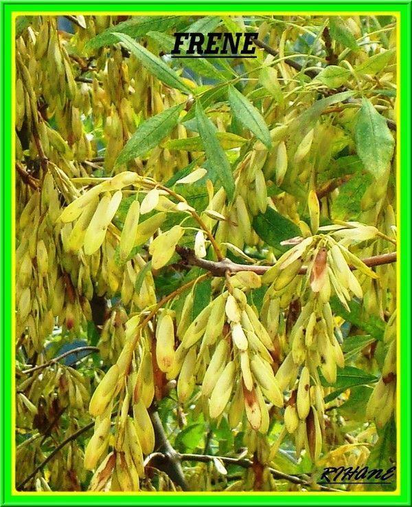Frêne(fraxinus excelsior)(dardar)