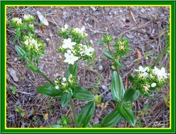 Petite centaurée(erythraea centaurium)(meraet el'hench)
