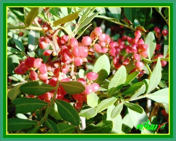 Lentisque(pistachia lentiscus)(dhrou)