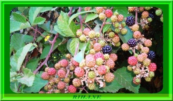 Ronce(rubus fructicosus)(thizoual)