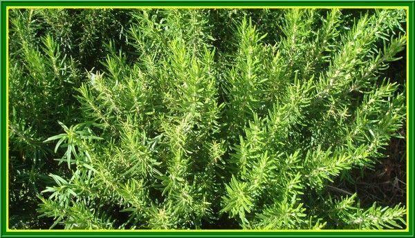 romarin'(rosmarinus officinalis)(klil)